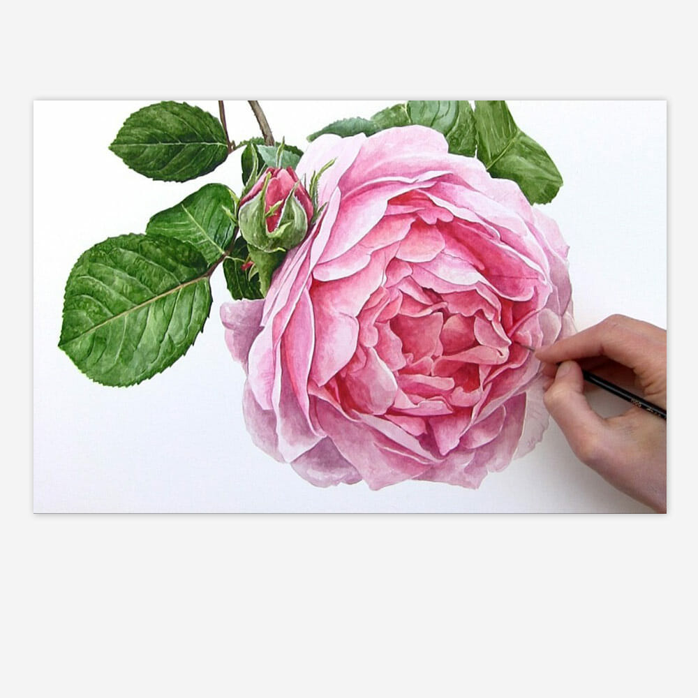 Constance Spry Pink Rose