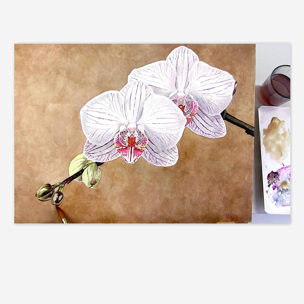 Phalaenopsis Oechid Background