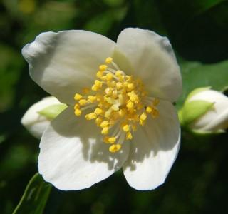 Carpenteria_californica_900_60